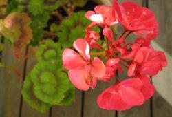 Rosa og struttande Geranium.